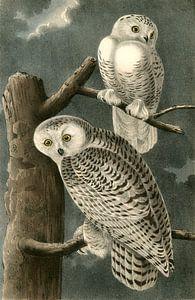 Sneeuw Uil, Snowy Owl, Audubon, John James, 1785-1851