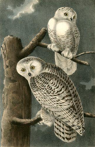 Sneeuw Uil, Snowy Owl, Audubon, John James, 1785-1851 van Liszt Collection