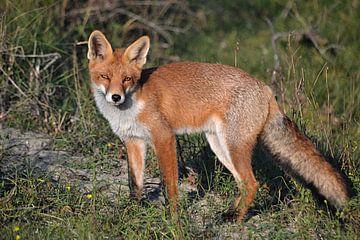 Ein Fuchs in den Dünen der Amsterdamer Wasserversorgung von JTravel