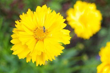 Gele bloem met insect van Photos by Aad