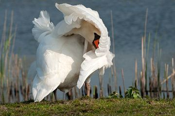 Weißer Schwan von Loek Lobel