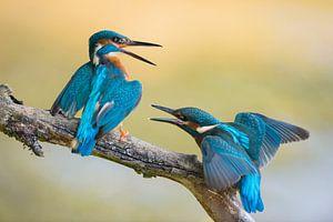 Eisvogel  / Eisvögel ( Alcedo atthis ) Jungvogel streitet mit Altvogel, wildlife, Europa.
