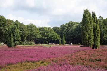 Heidegarten ,  Schneverdingen, Lüneburger Heide, Niedersachsen, Deutschland