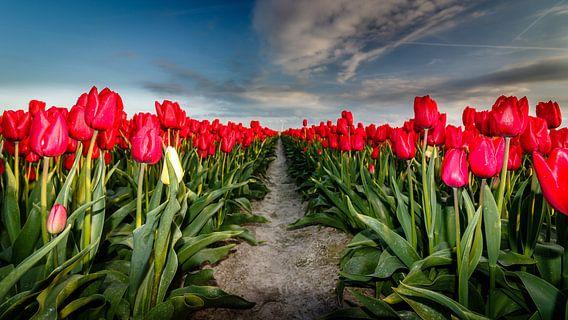 Tulpen in bloei van Jaap Terpstra