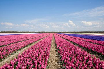 Bloembollenveld met hyacinten van Barbara Brolsma