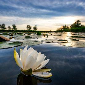 Wasser lilly während des Sonnenuntergangs von Sjoerd van der Wal Fotografie