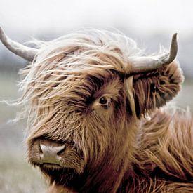 Schotse Hooglander Kalf Portret van Diana van Tankeren