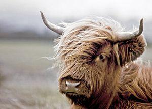 Schotse Hooglander Kalf Portret