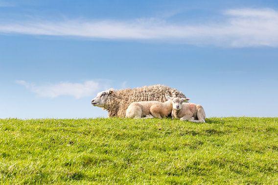 Familie schaap ligt te rusten op een dijk langs de kust