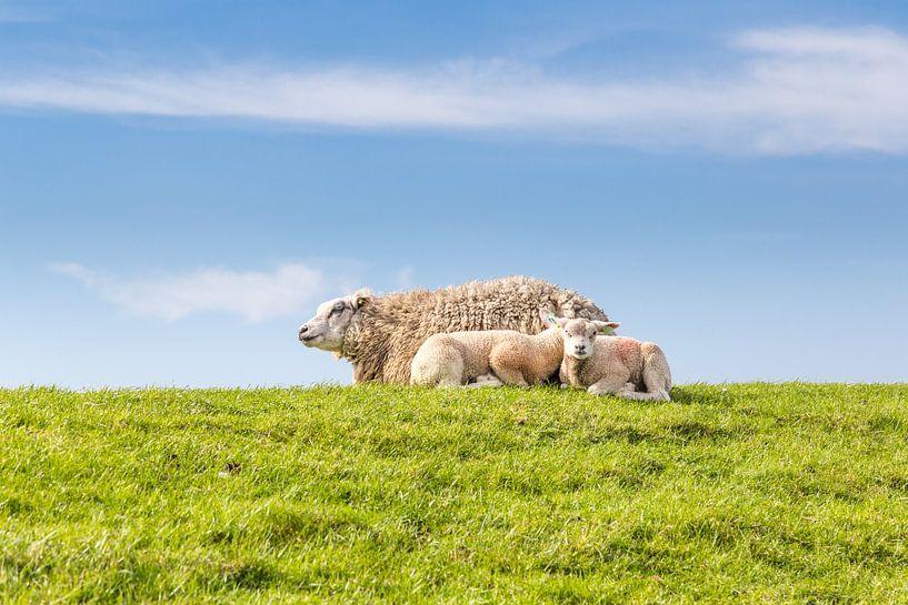 Familie schaap ligt te rusten op een dijk langs de kust van Hilda Weges