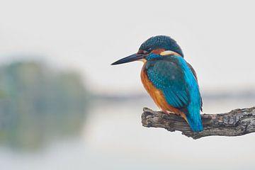 IJsvogel - de koning van IJsvogels.nl - Corné van Oosterhout