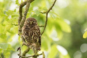 Owl in the tree van
