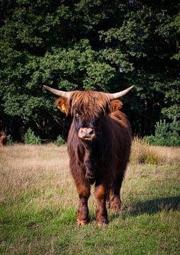 Der schottische Hochlandbewohner von Jesse Lamberink