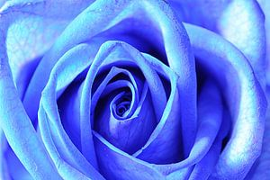 Blauwe roos (rechthoek)