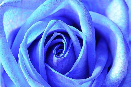 Blauwe roos (rechthoek) van