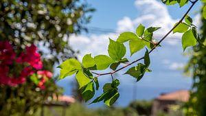 Zonlicht op bladeren van de Bougainvillea  A