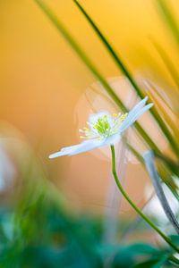 Bosanemoon in bloei langs de waterkant van een beek
