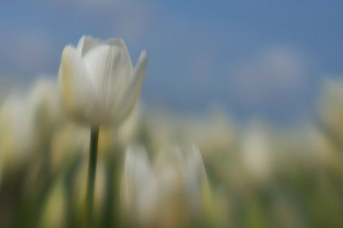 Witte Tulp in bollenveld