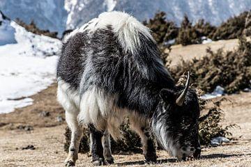 Een Yak uit de Himalaya van Ton Tolboom