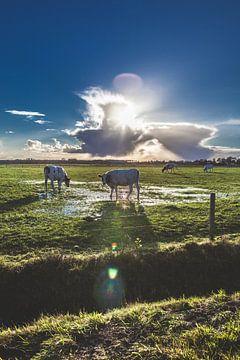 Koeien in het lente zonnetje, van