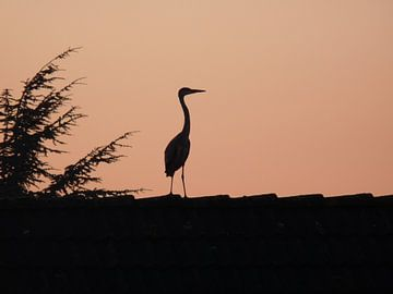 Reiger op dak van