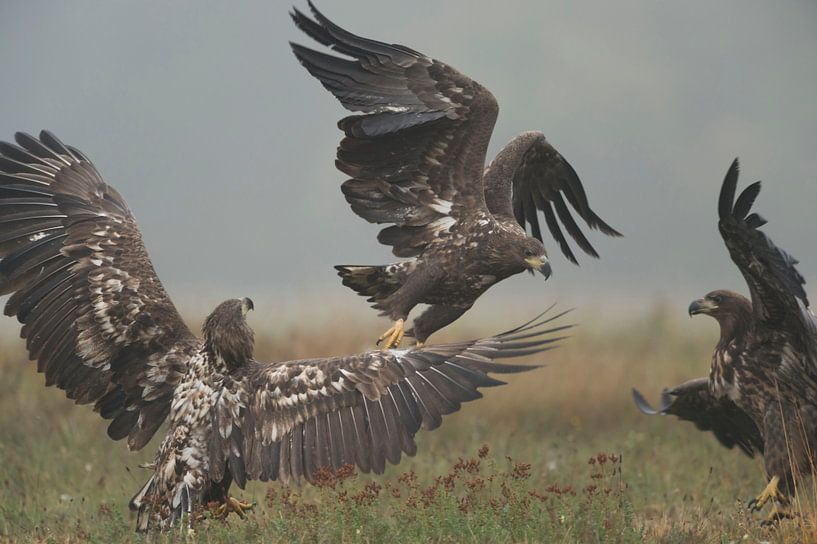 White-tailed Eagles / Sea Eagles ( Haliaeetus albicilla ), immature, subadults, in fight, fighting,  van wunderbare Erde