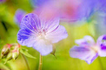 violette Storchlilie in meinem Garten von Hanneke Luit