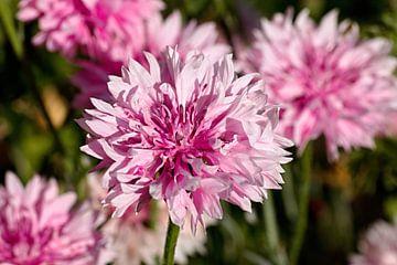Roze korenbloem van W J Kok