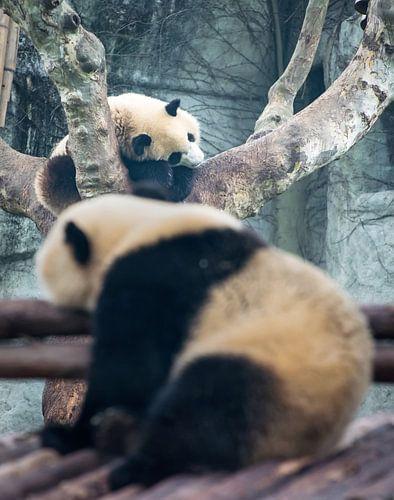 Dagdromen. Twee  pandaberen liggend in een boom, China