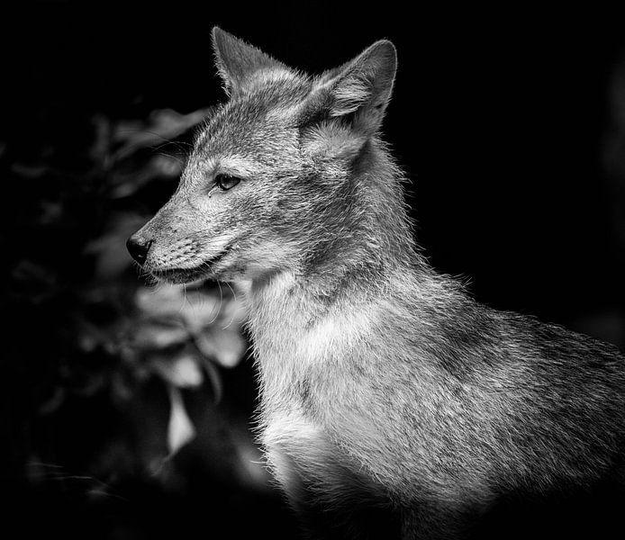 Animaux | loup sur Sylvana Portier