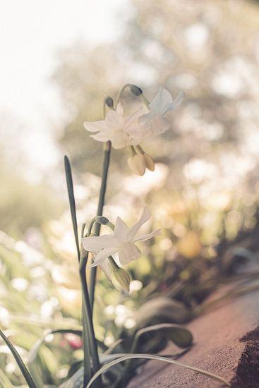 kleine narcis in de zon van Valqueira van der Does