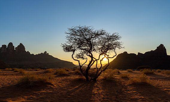 Woestijnboom tijdens zonsondergang
