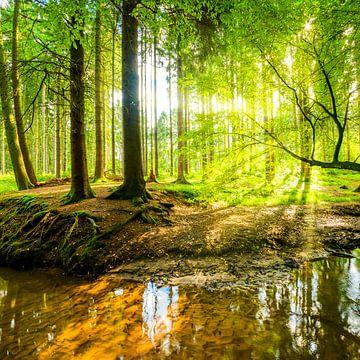 Bos met zon van Günter Albers