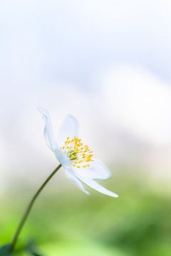 Frische Frühlingsblume von Bert Kok