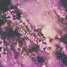Fraaie paarse heide in volle bloei van Fotografiecor .nl