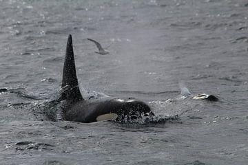 Orka (IJsland) van Martin van den Berg Mandy Steehouwer