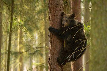 Europaeischer Braunbaer ( Ursus arctos ), Jungtier klettert eine Baum hinab, sieht ein enig ängstlic von wunderbare Erde