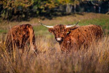 Twee Schotse Hooglanders die lekker rondsnuffelen van Bas Fransen