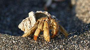 Hermit crab in the sunset van