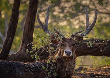 Paarseizoen voor de herten in Baluran Nationaal Park van Anges van der Logt