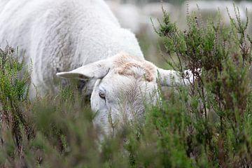 Schaap in de heide aan het grazen