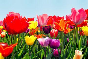 Tulpen aus Holland von Sjouke Hietkamp