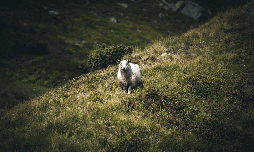 Sheep van Jip van Bodegom