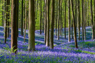 Bluebell bos von Sjoerd van der Wal