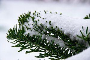 Dennentakken met sneeuw