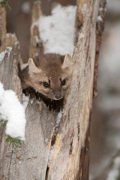 Dennenmarter / sparrenmarter ( Martes americana ) verbergt zich in een gebroken boom, wild, USA. van wunderbare Erde