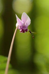 Een wilde cyclaam met insect