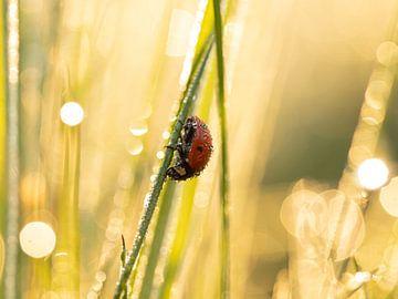 Lieveheersbeestje in het ochtendlicht 2 van Maaike Munniksma