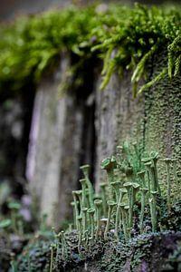 Bekermos (Cladonia) tegen afgebroken boomstronk