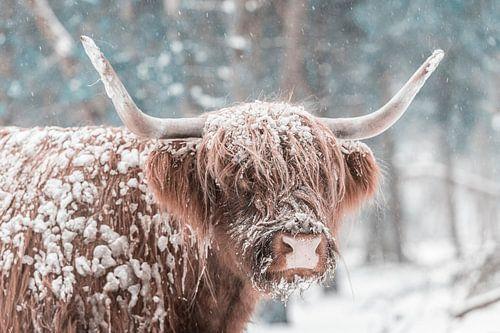 Schotse Hooglander in de sneeuw in een bos tijdens de winter